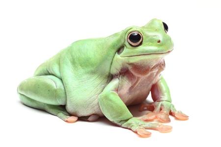 Australian Green Tree Frog (Litoria caerulea) Stock Photo