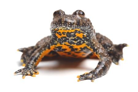 European Fire-bellied Toad (Bombina bombina) Stock Photo