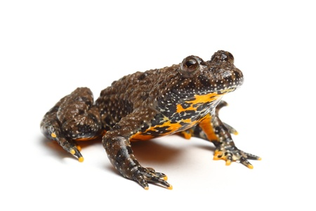 European Fire-bellied Toad (Bombina bombina) 写真素材
