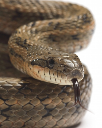 dione: Steppes Ratsnakes  Elaphe dione  over white