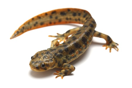 Spanish ribbed newt  Pleurodeles waltl  on white