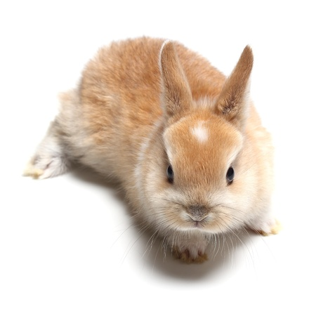 carroty:  young carroty rabbit isolated on white