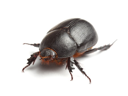 geotrupes:  earth-boring dung beetle isolated on white Stock Photo