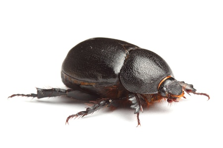 dung:  earth-boring dung beetle isolated on white Stock Photo