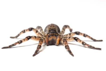 wolf spider isolated on white Stock Photo