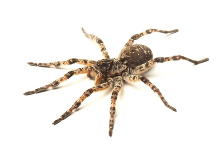 spiteful:  wolf spider isolated on white