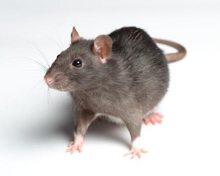 rat sur blanc
