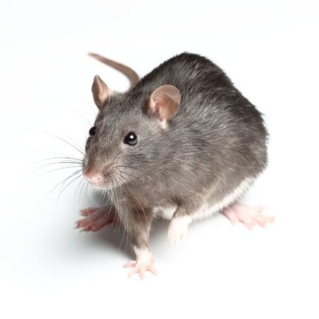 rat over white