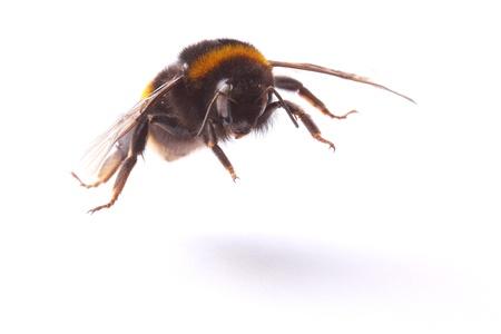flying bumblebee  closeup