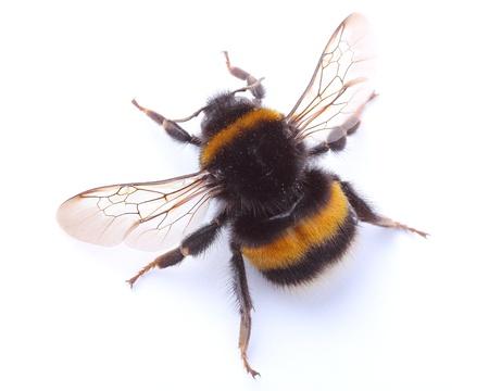 bumblebee:  bumblebee isolated on white