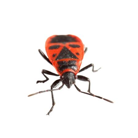 Firebug   Pyrrhocoris apterus  isolated on white