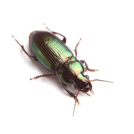 Ground beetle Harpalus affinis isolato su bianco