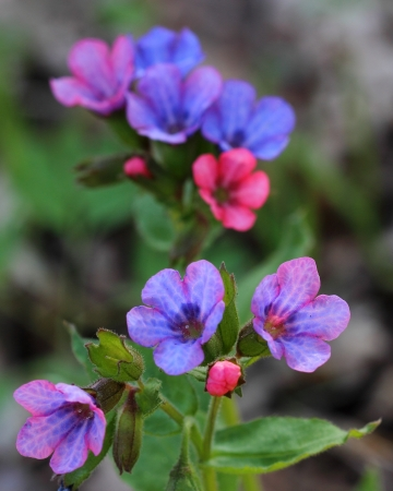 Flowering lungwort  Pulmonaria obscura   Close-up Stock Photo - 21205511