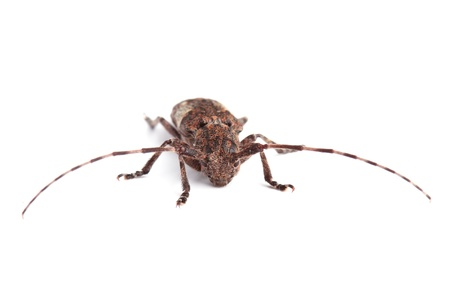 longhorn beetle:  White-clouded longhorn beetle  Mesosa nebulosa