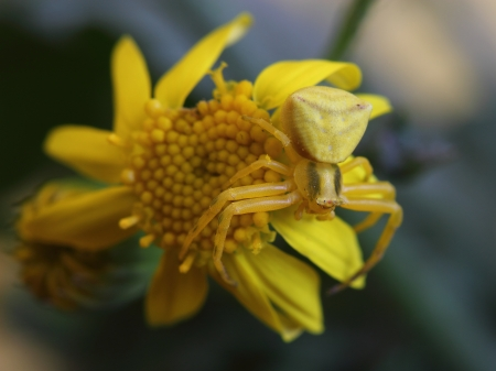 Goldenrod crab spider  Misumena vatia  on yellow flower photo