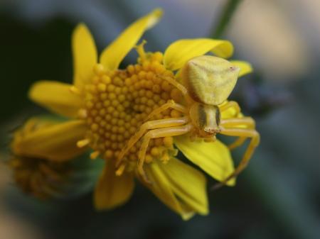flower spider: Goldenrod crab spider  Misumena vatia  on yellow flower