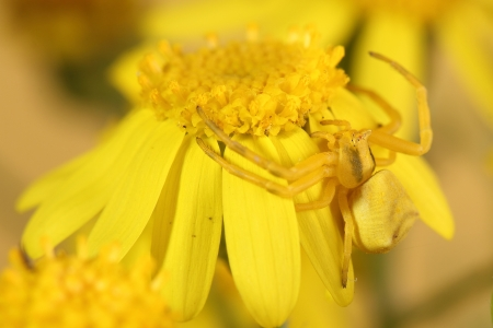 goldenrod spider: Goldenrod crab spider  Misumena vatia  on yellow flower