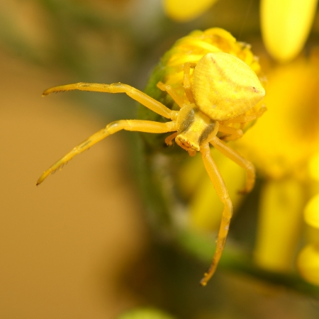 Goldenrod crab spider  Misumena vatia  on yellow flower Stock Photo - 21975627