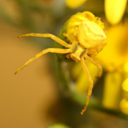 goldenrod spider: Goldenrod granchio ragno Misumena vatia sul fiore giallo