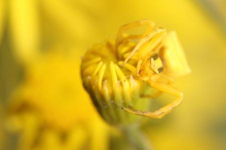 goldenrod crab spider: Goldenrod crab spider  Misumena vatia  on yellow flower