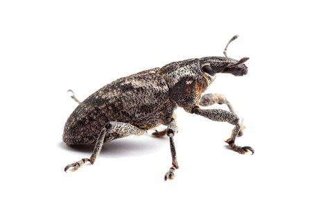 weevil isolated on white