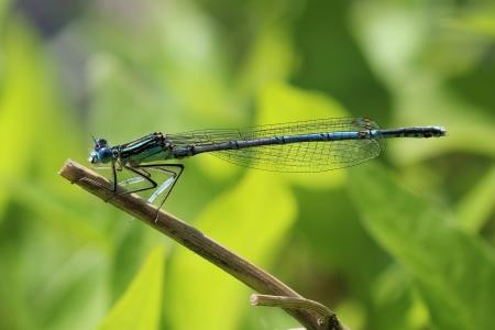 invertabrate:  Dragonfly  Macro