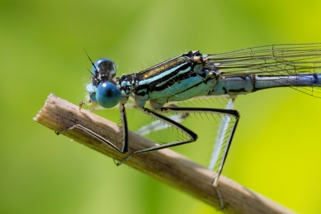 invertabrate:  Dragonfly  Macro