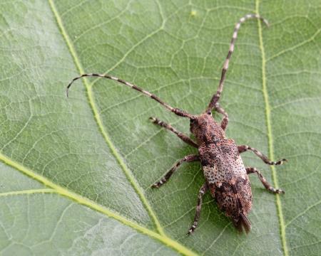 longhorn beetle:  White-clouded longhorn beetle on green leaf  Macro