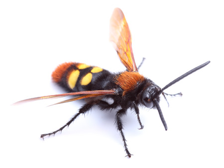 hirta:  Wasp  Scolia hirta  isolated on white