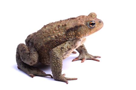 bufo toad:  European toad  Bufo bufo  isolated on white