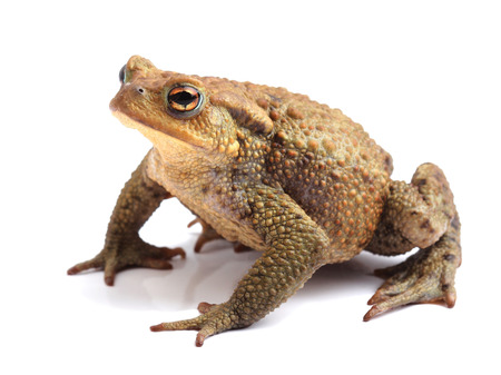 European toad  Bufo bufo  isolated on white 写真素材