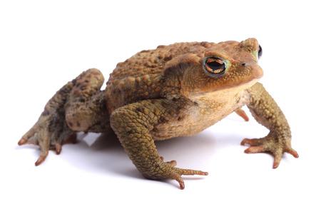 bufo bufo:  European toad  Bufo bufo  isolated on white