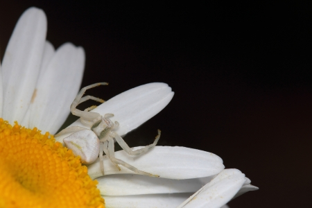 goldenrod spider:  Flower spider on daisy  Macro