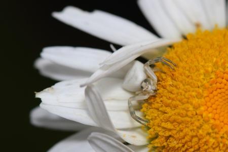 flower spider:  Flower spider on daisy  Macro
