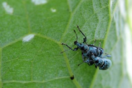 weevils: Couple weevils on leaf  Macro Stock Photo
