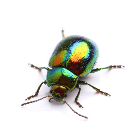 Mint Leaf Beetle  Chrysolina herbacea  isolated on white