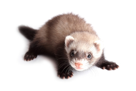 weasel:  Young weasel isolated on white