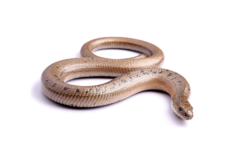 anguis: Male of Slowworm  Anguis fragilis  isolated on white  Stock Photo