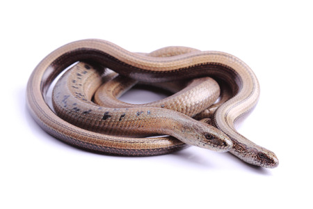 Male and female of Slowworm  Anguis fragilis  photo
