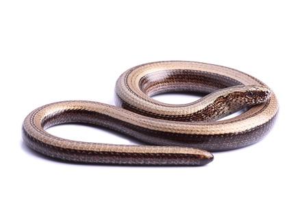 Female of Slowworm  Anguis fragilis  isolated on white Stock Photo - 24537243