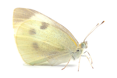 Butterfly - Large White  Pieris brassicae  on white