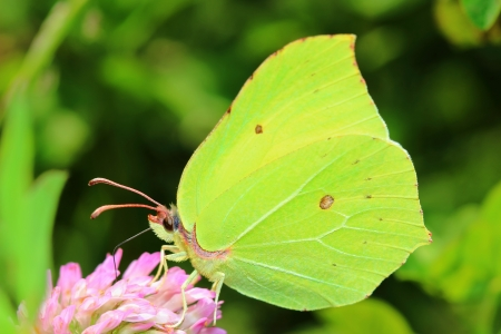 gonepteryx: Butterfly - Common Brimstone on clovers flower