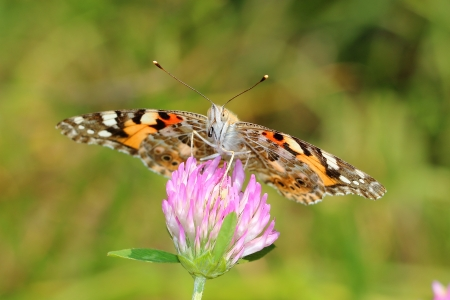 vanessa:  Painted Lady  Vanessa cardui  on clovers flower  Macro Stock Photo