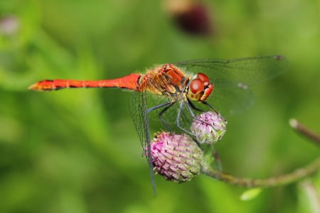 crocothemis: Scarlet Dragonfly  Crocothemis erythraea