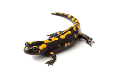 Fire salamander  Salamandra salamandra  on white