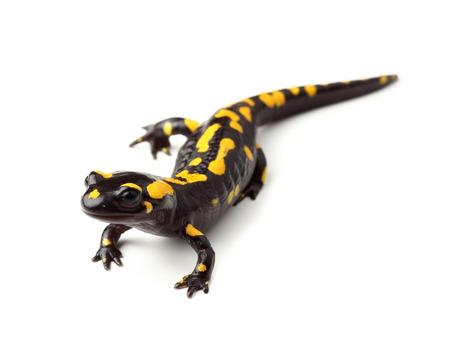 salamandre: salamandre de feu Salamandra salamandra sur blanc Banque d'images