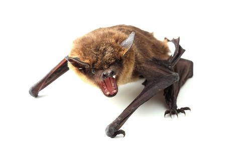 Bat isolated on white 写真素材