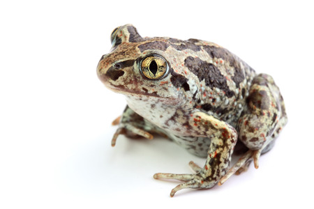 Common Spadefoot  Pelobates fuscus  isolated on white  Stock Photo