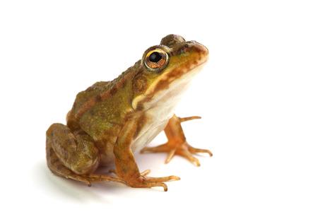 ridibundus:  Green frog isolated on white