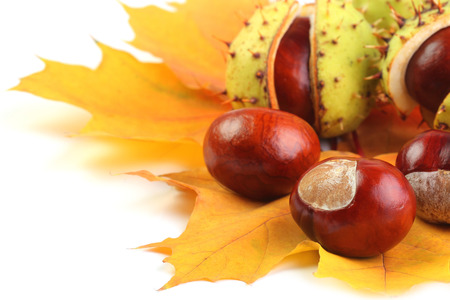 horse-chestnut on yellow maple leaves isolated on white horse-chestnut on yellow maple leaves isolated on white  Stock Photo